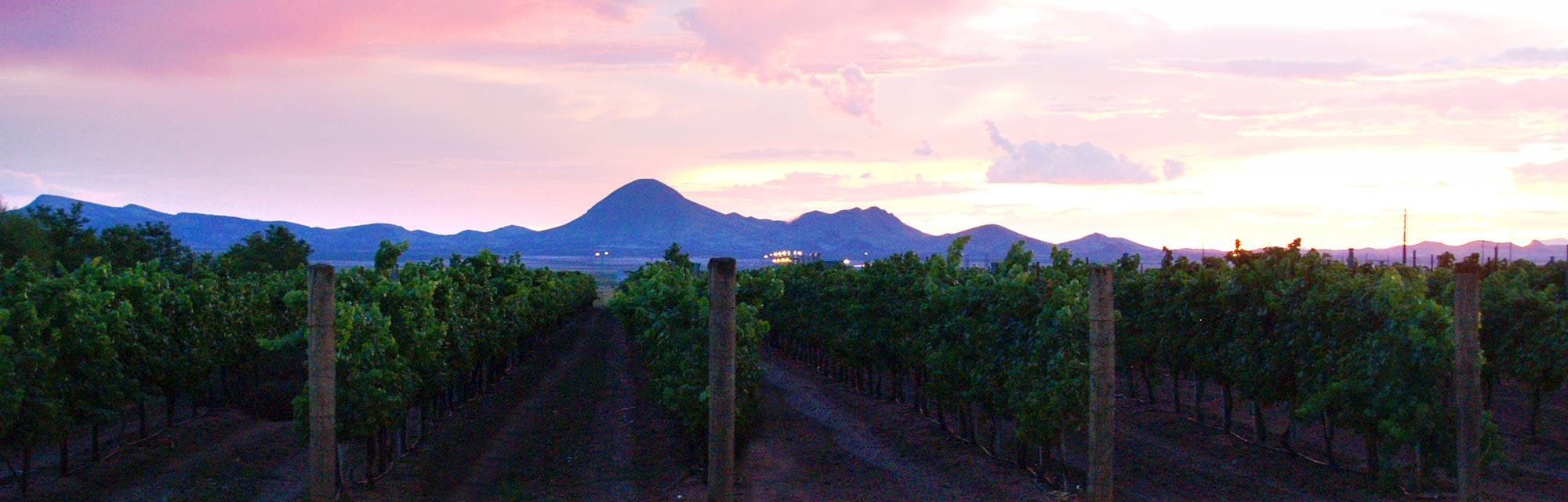 Vineyard at Sunset - Lescombes Family Vineyards