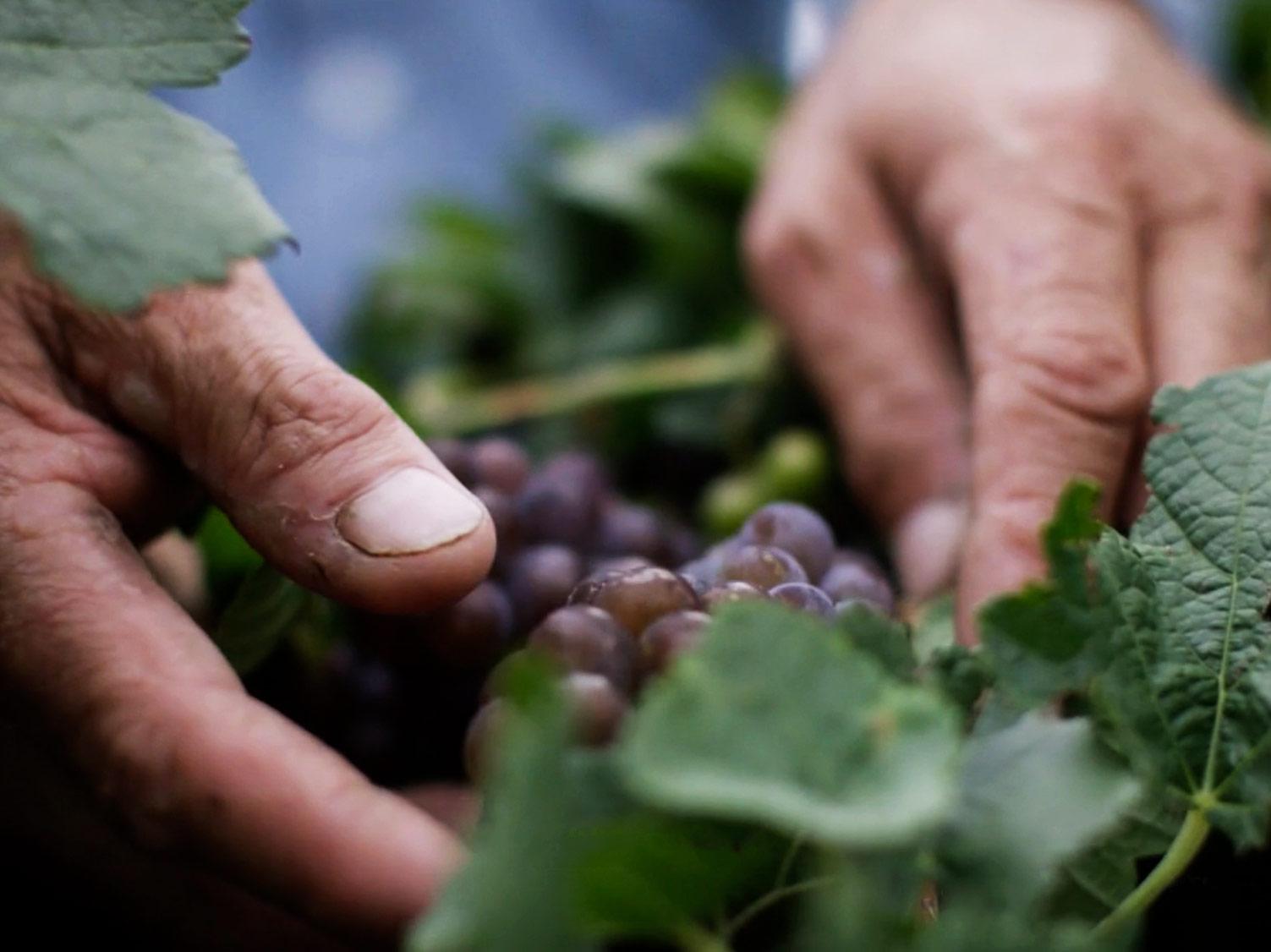 Manos recogiendo uvas